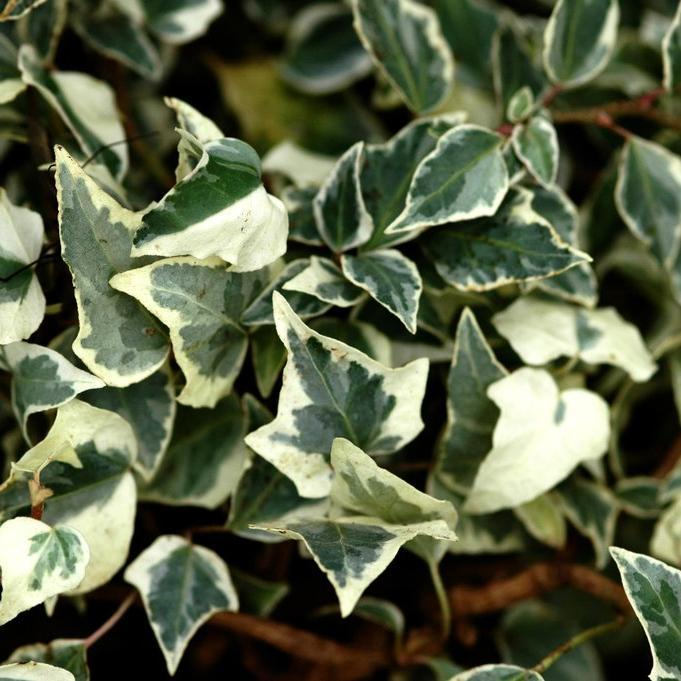 Lierres rampants couvre-sol 'Little Diamond' (Hedera helix)