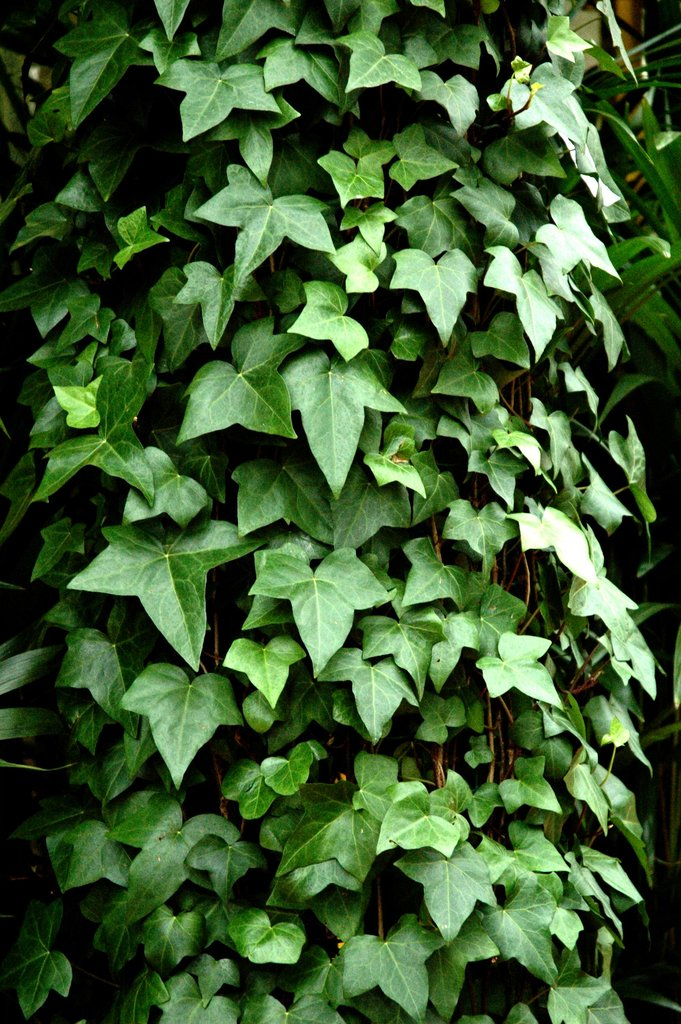plante verte lierre