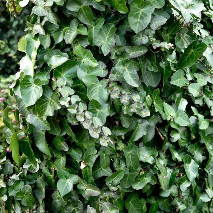 Lierres d'extérieur grimpants Lierre d'Irlande (Hedera hibernica)