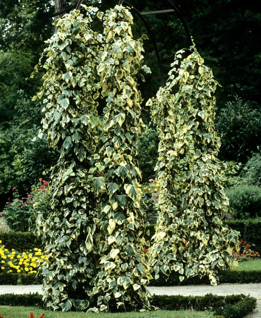 Lierre planter et tailler ooreka for Lierre artificiel en pot