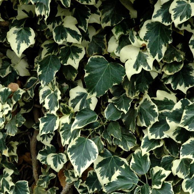 Lierre d'intérieur Lierre des Canaries 'Gloire de Marengo' (Hedera canariensis)