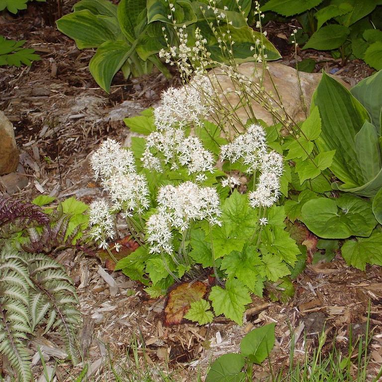 Tiarella cordifolia 'Moorgrun'
