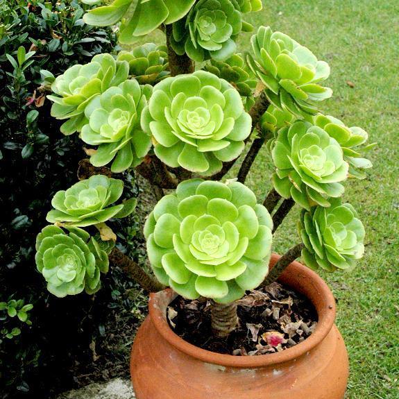 Æonium en arbre (Æonium arboreum) Espèce type