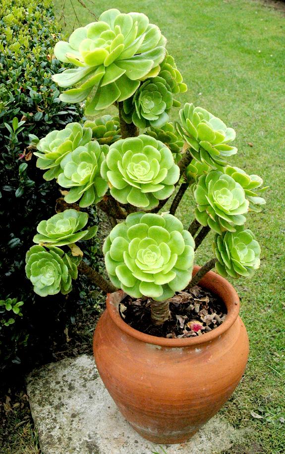 Onium planter et cultiver ooreka for Petite plante exterieur