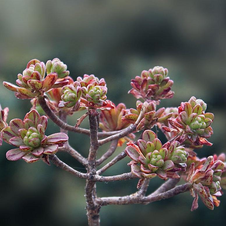 Æonium à feuilles de sedum (Æonium sedifolium) --