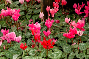 Multiplication du cyclamen