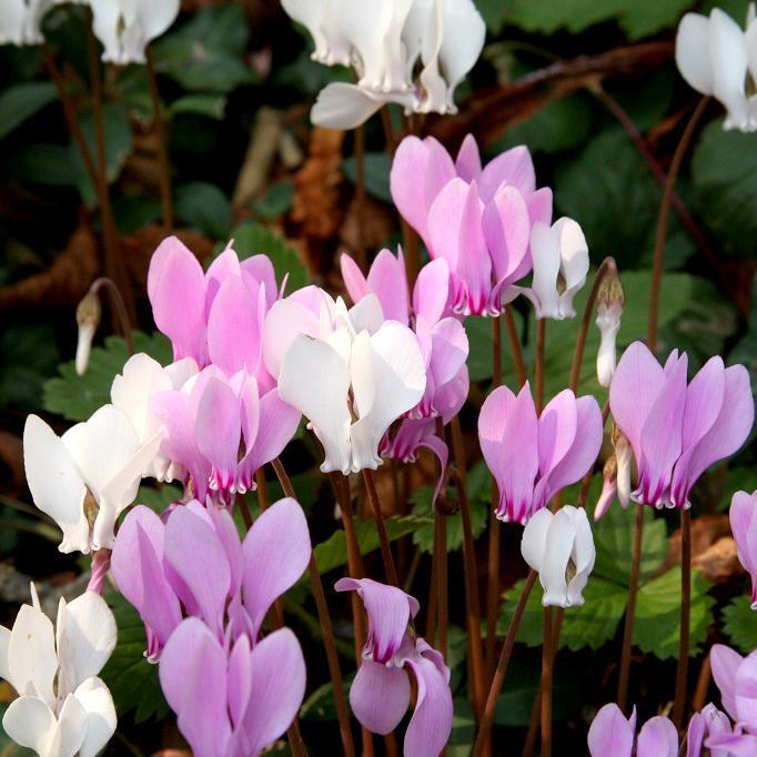 Floraison estivale et automnale Cyclamen de Naples (Cyclamen hederifolium)