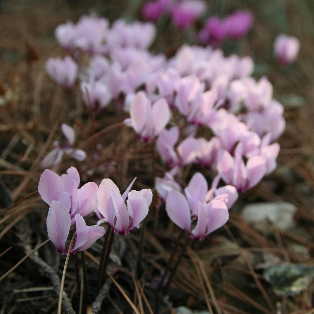 Floraison estivale et automnale Cyclamen de Grèce (Cyclamen graecum)