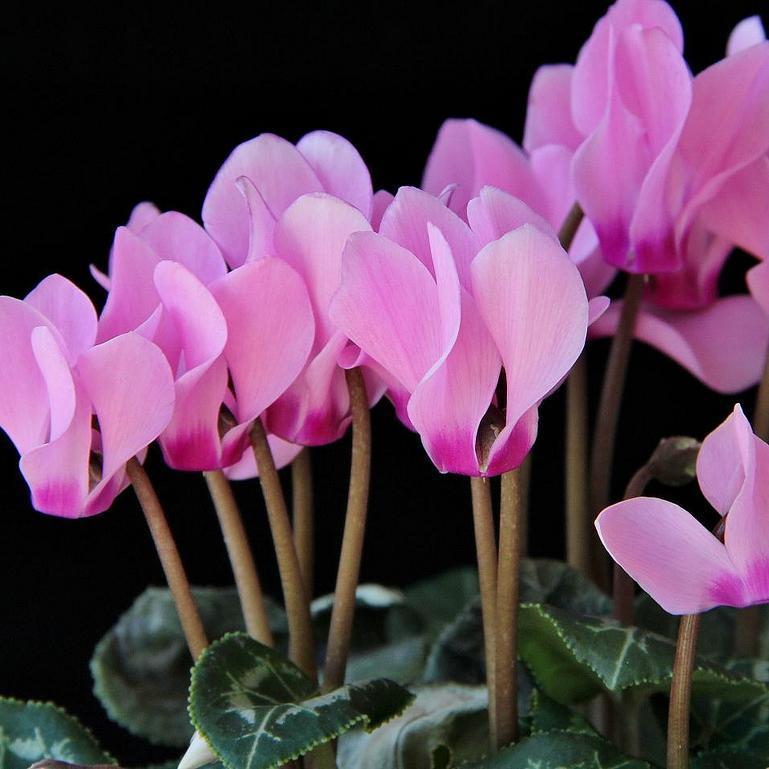 Floraison hivernale et printanière Cyclamen de Perse (Cyclamen persicum)