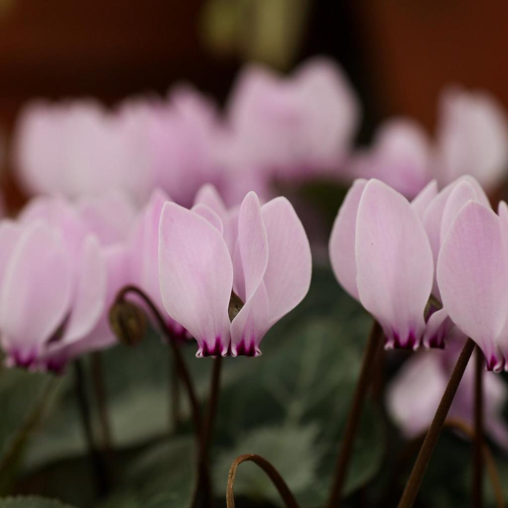 Floraison estivale et automnale Cyclamen cilicium