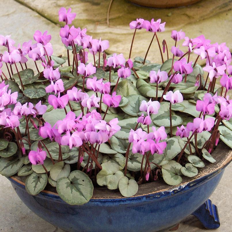 Floraison hivernale et printanière Cyclamen coum