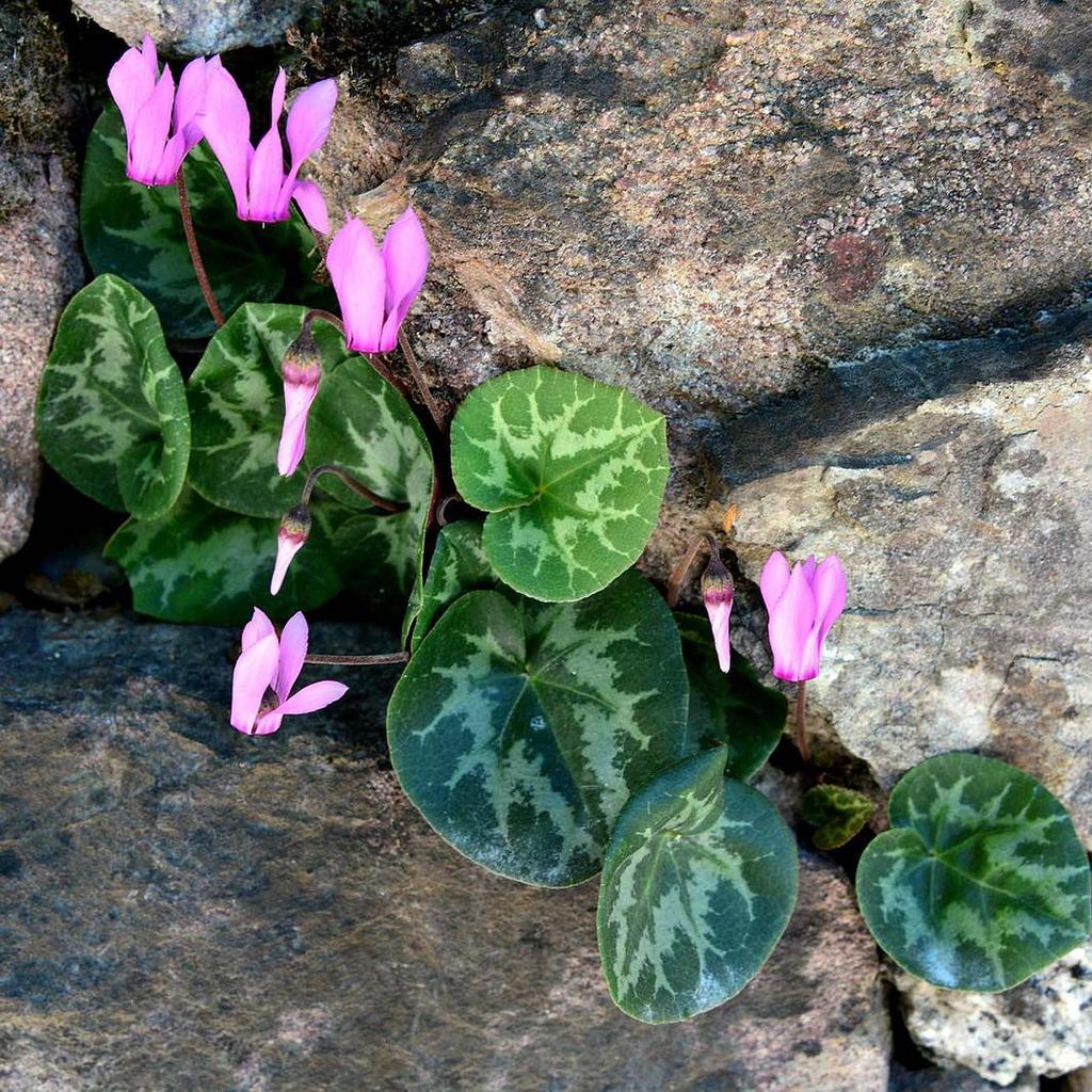 Floraison estivale et automnale Violette des Alpes (Cyclamen purpurascens)