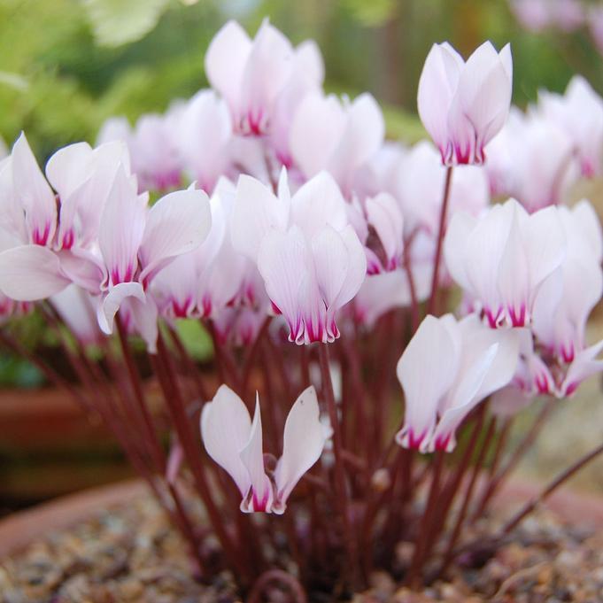 Floraison estivale et automnale Cyclamen africanum
