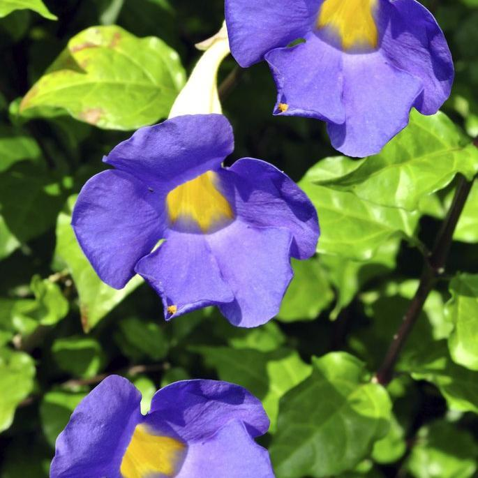 Espèces buissonnantes Thunbergie de Battiscombe (Thunbergia battiscombei)