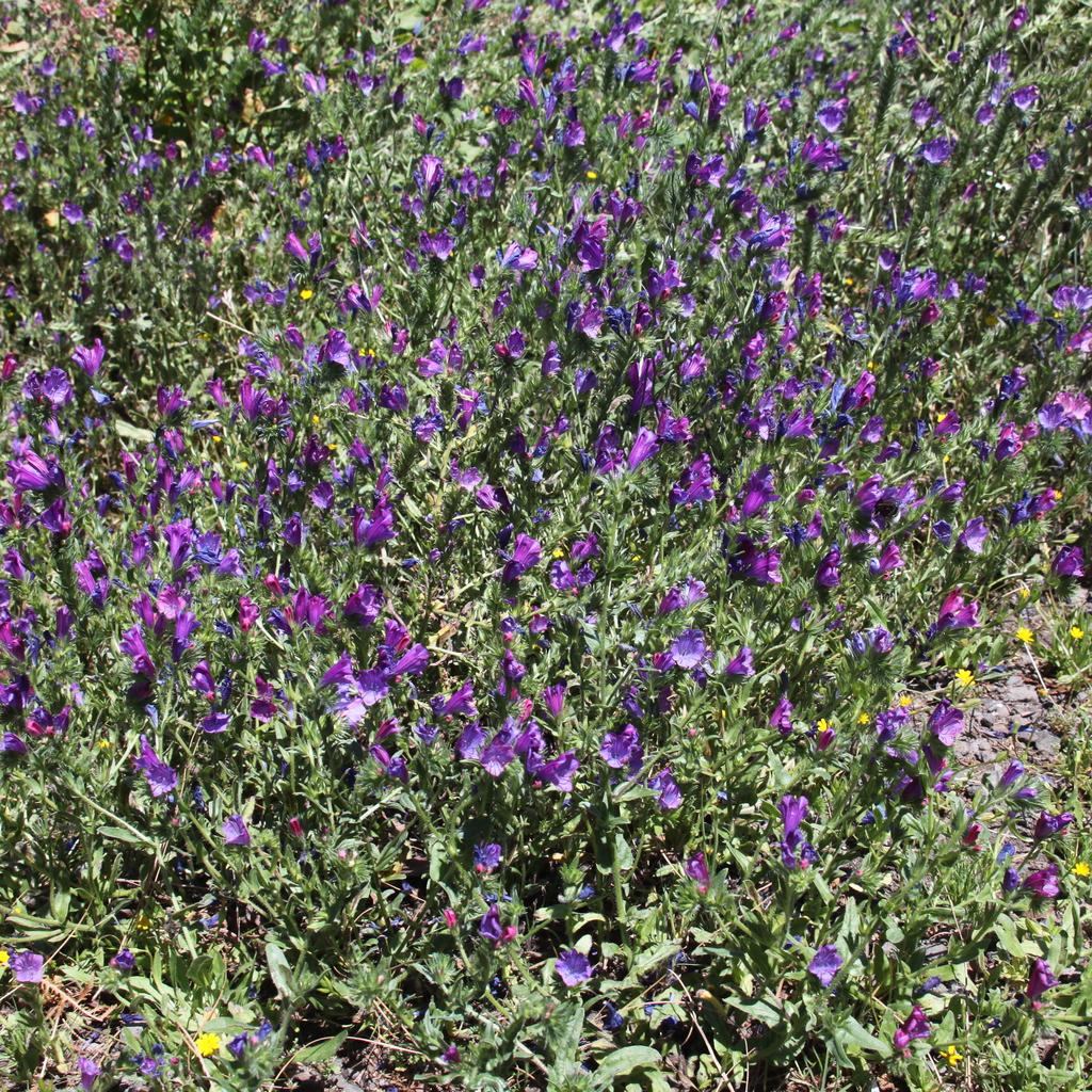 Espèces européennes Vipérine faux-plantain (Echium plantagineum)