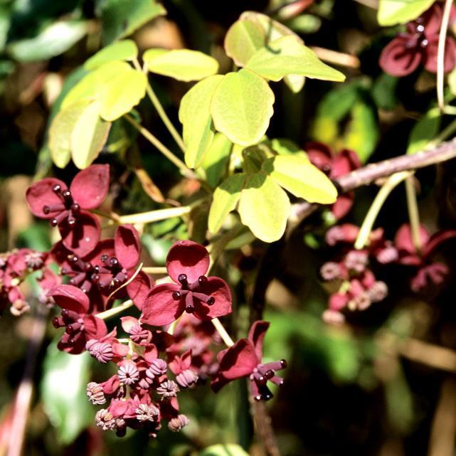 Akébie à cinq feuilles (Akebia quinata) Espèce type