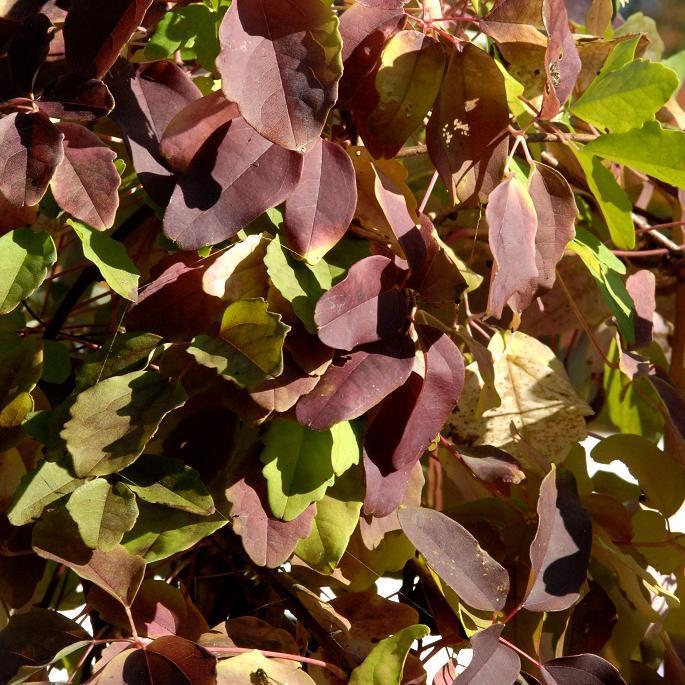 Akébie hybride (Akebiaxpentaphylla) --