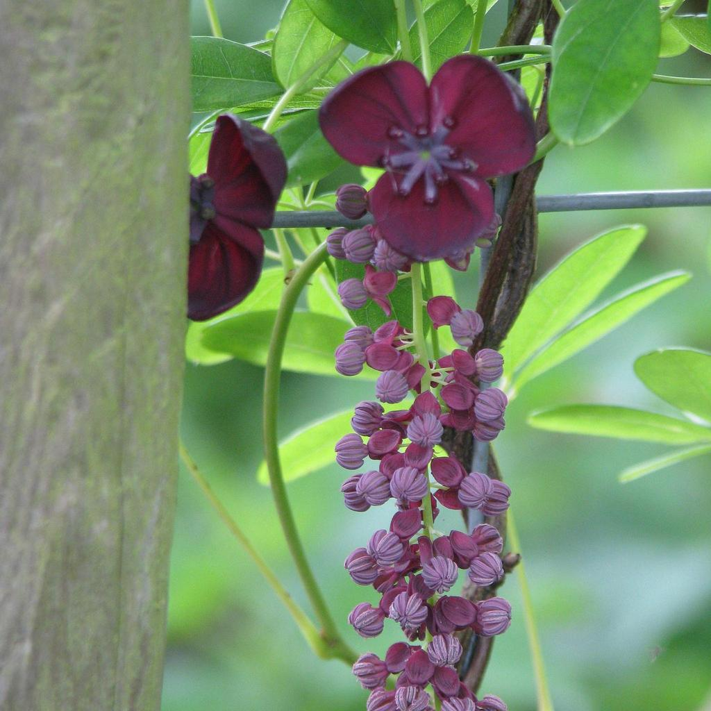 Akébie à longue grappe (Akebia longeracemosa) --