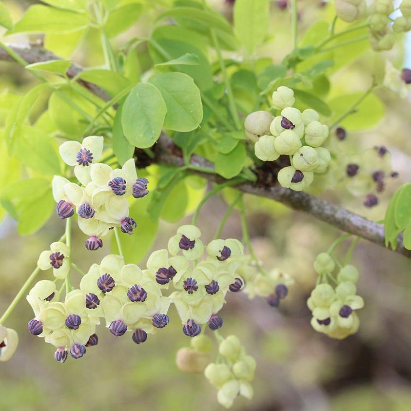 Akébie à cinq feuilles (Akebia quinata) 'Cream Form'