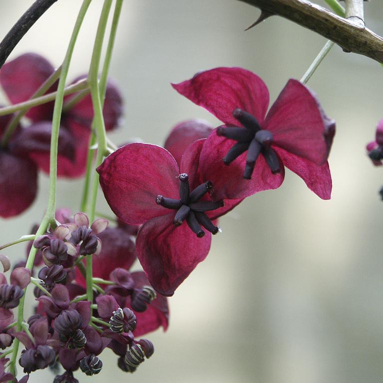 Akébie à trois feuilles (Akebia trifoliata) --