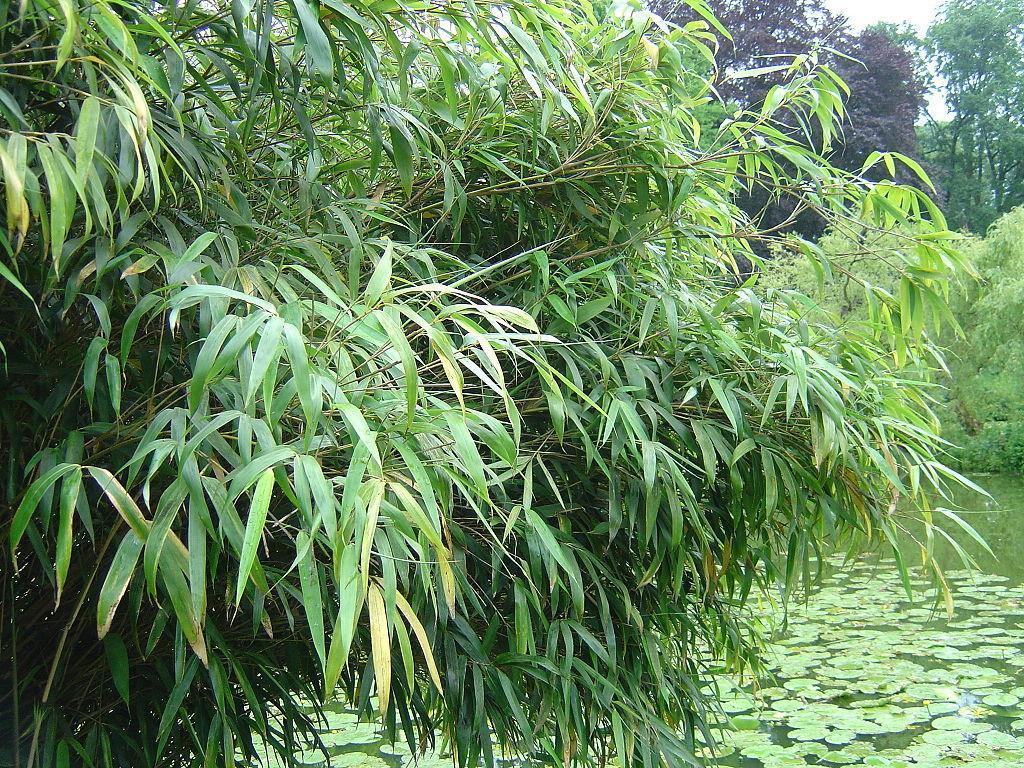 Bambou fargesia planter et bouturer ooreka for Type de plante