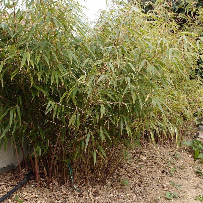 bambou fargesia planter et bouturer ooreka. Black Bedroom Furniture Sets. Home Design Ideas