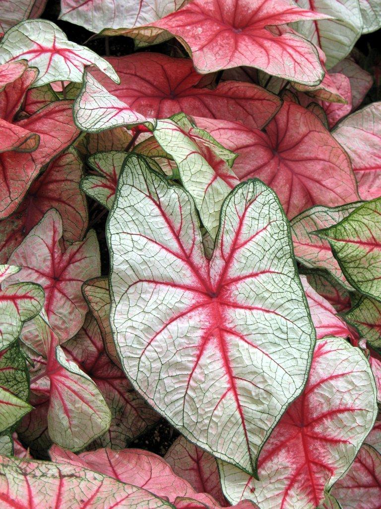 caladium   planter et cultiver  u2013 ooreka