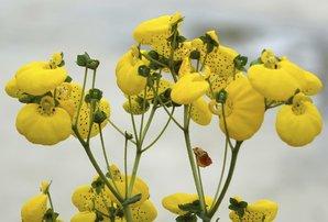 Semis et plantation de la calcéolaire