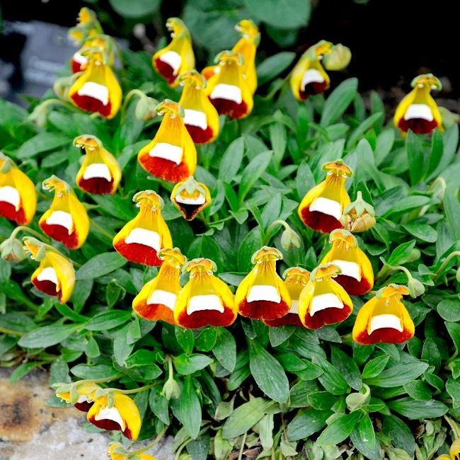 Calceolaria uniflora Appelée «Topa topa»