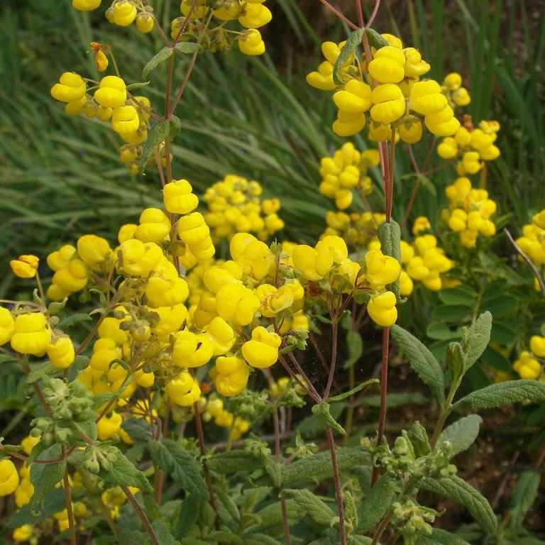 Calcéolaire rugueuse (Calceolaria integrifolia) Espèce type