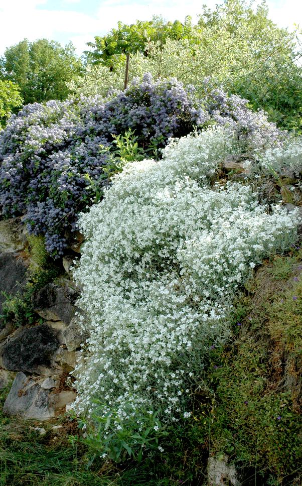 C raiste planter et entretenir ooreka for Plante jardin sans entretien