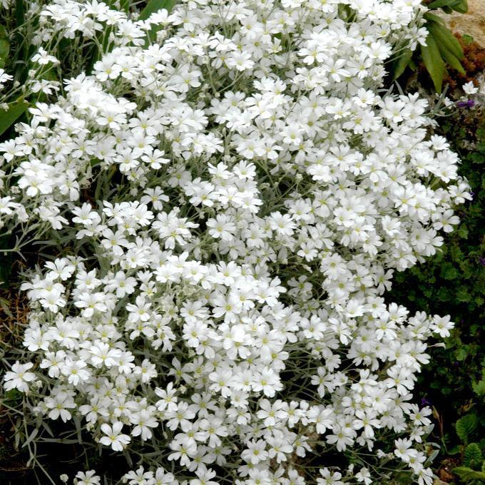 Céraiste tomenteuse (Cerastum tomentosum) Espèce type