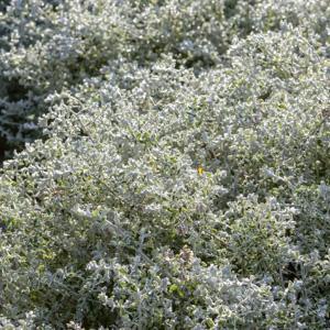 Céraiste tomenteuse (Cerastum tomentosum) 'Yoyo'
