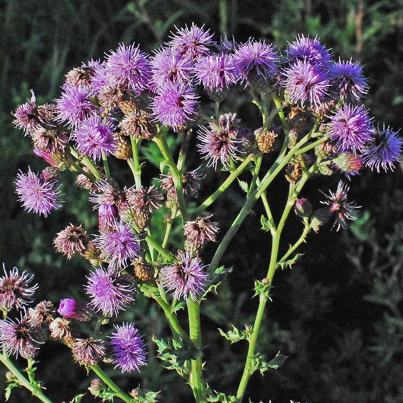 Cirsium arvense: le cirse des champs Ne pas introduire au jardin: invasif! --