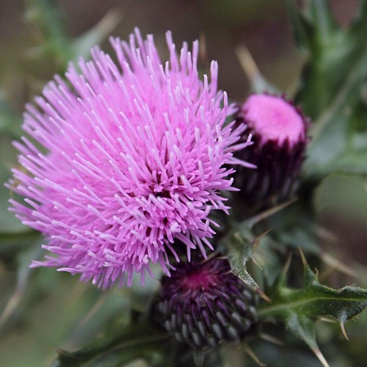 Cirsium japonicum 'Pink Beauty'