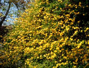 Plantation de <em>Kerria japonica</em>