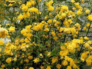 Culture et entretien de <em>Kerria japonica</em>