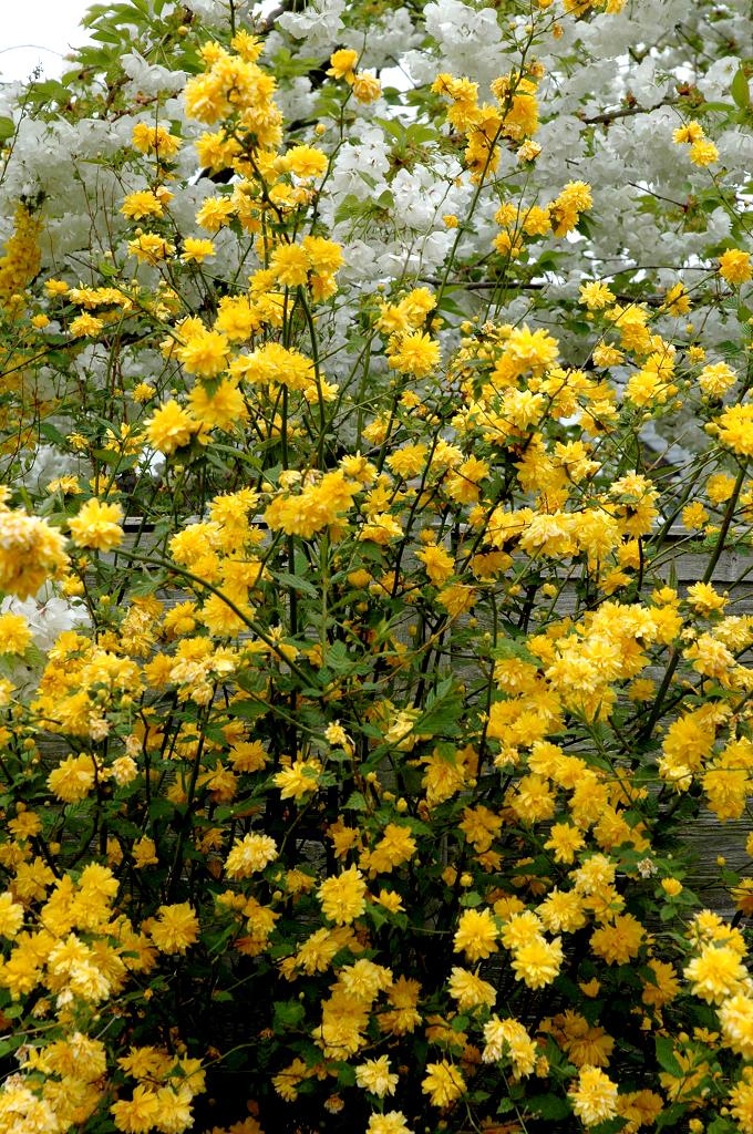 Cor te du japon planter et cultiver ooreka - Plante a fleur jaune 6 lettres ...