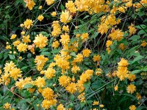 Multiplication de <em>Kerria japonica</em>