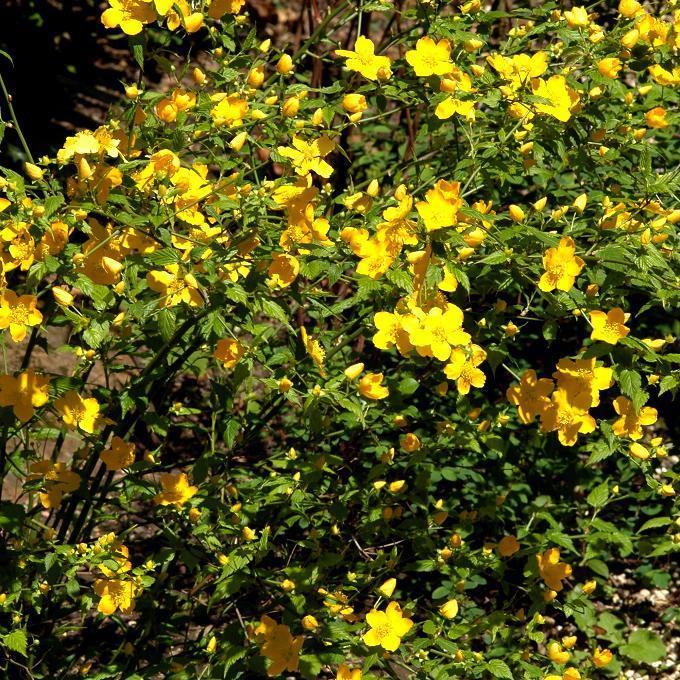 Corête du Japon (Kerria japonica) 'Golden Guinea'