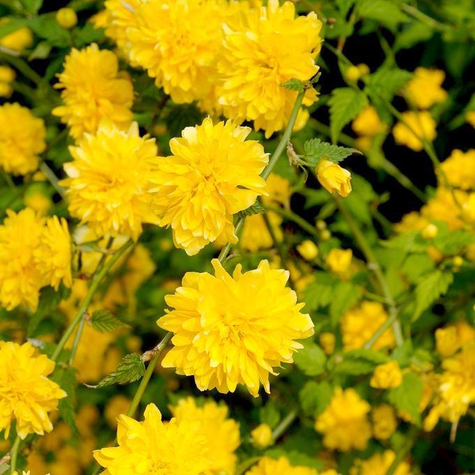 Corête du Japon (Kerria japonica) 'Pleniflora'