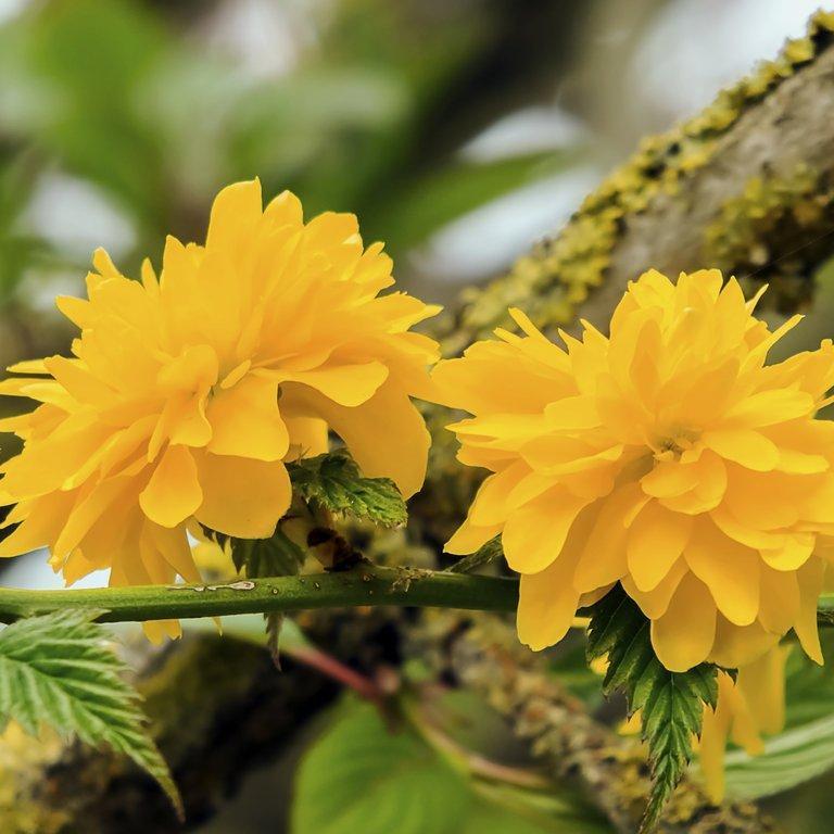 Corête du Japon (Kerria japonica) Espèce type