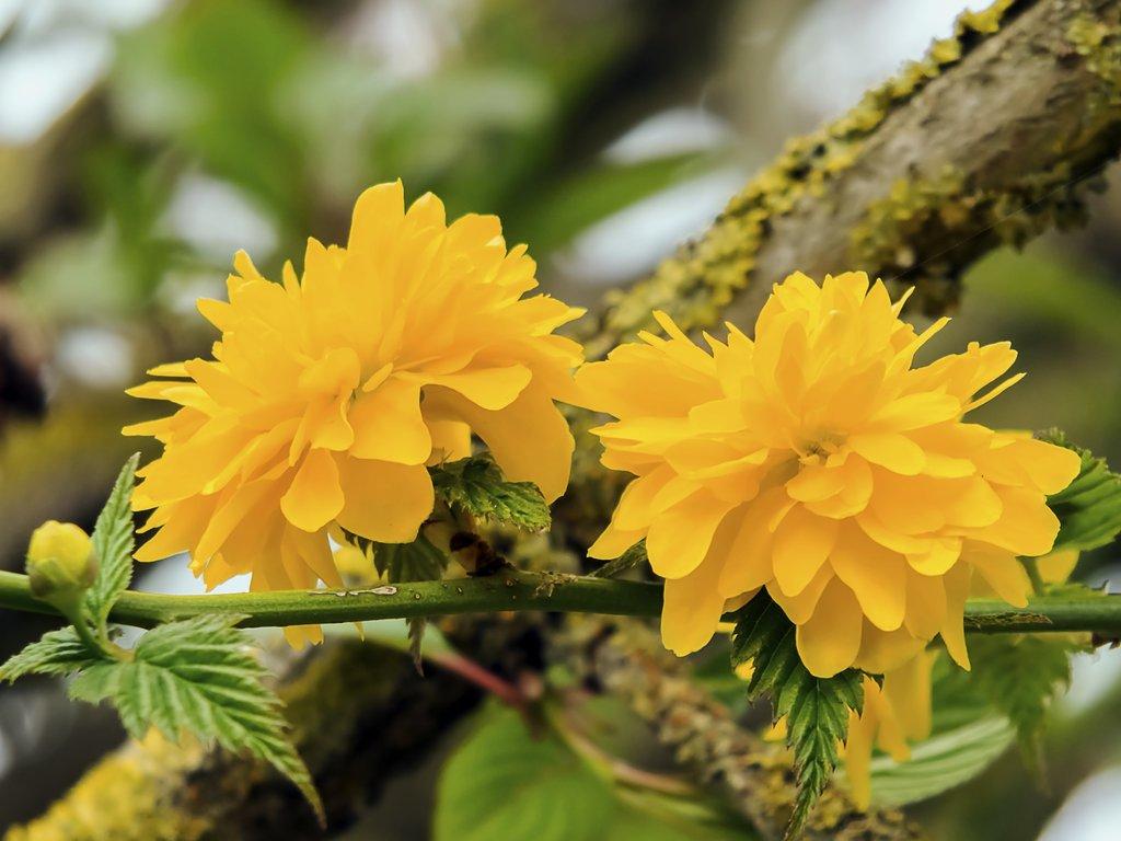 Cor te du japon planter et cultiver ooreka - Confiture de nefles du japon ...