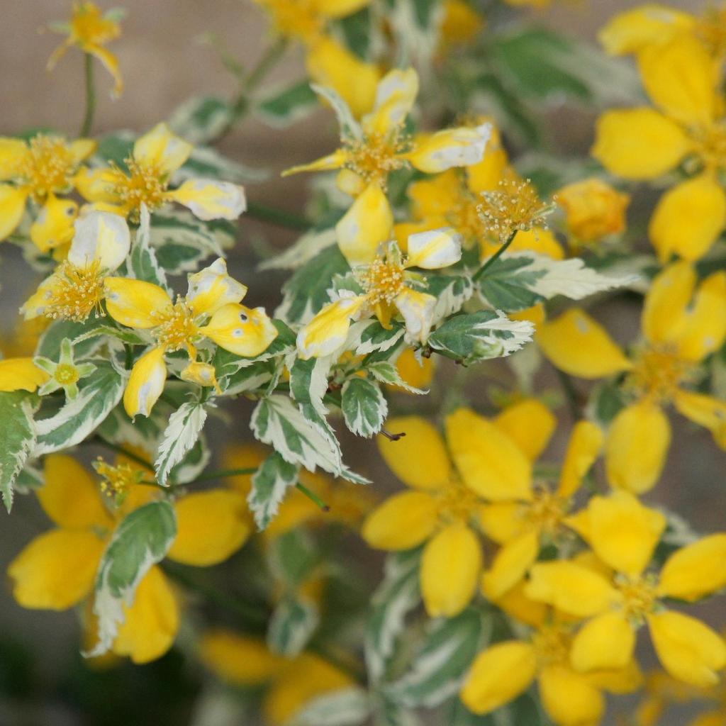 Corête du Japon (Kerria japonica) 'Picta'