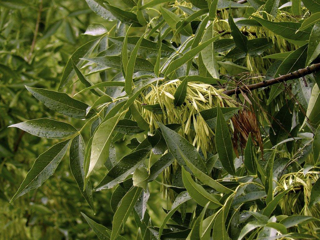Fr ne planter et tailler ooreka for Type de plante