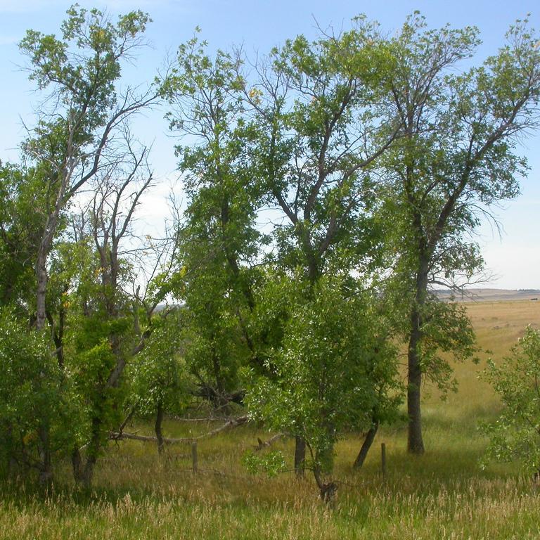 Variétés de taille plus modeste Frêne rouge de Pennsylvanie (Fraxinus pennsylvanica)