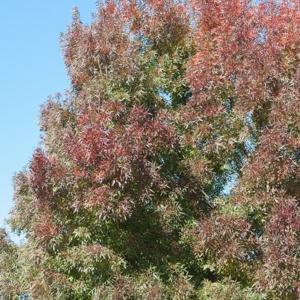 Variétés de taille plus modeste Fraxinus angustifolia 'Raywood'