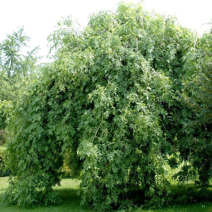 Variétés de taille plus modeste Frêne pleureur (Fraxinus excelsior 'Pendula')