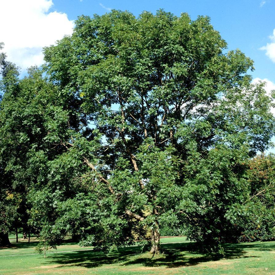 Variétés de grande taille Frêne commun (Fraxinus excelsior)