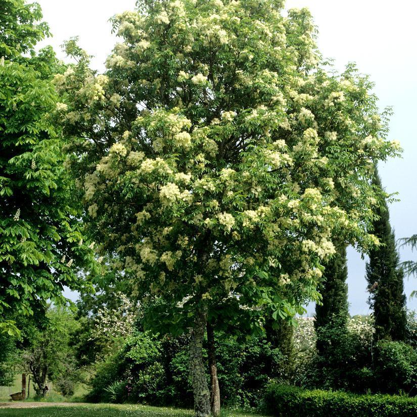 Variétés de taille plus modeste Frêne à fleurs, Orne (Fraxinus ornus)